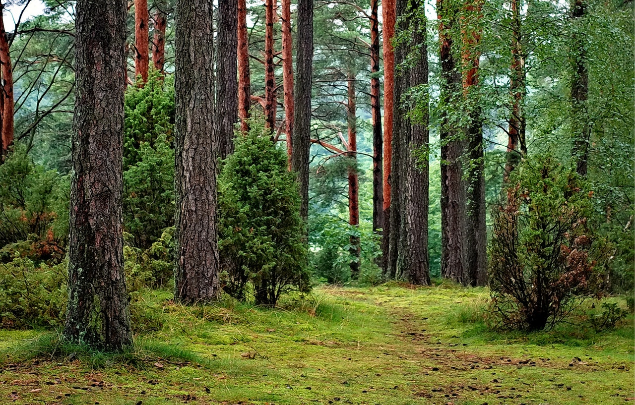 Lyse træer i skov med mange træer